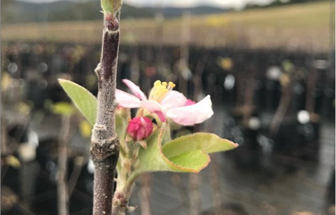 stone fruits flowering in winter early