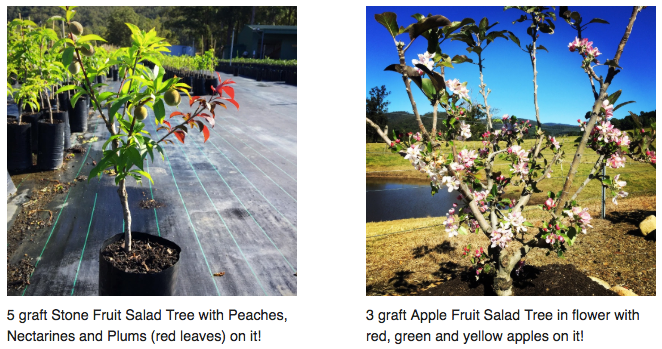 Flowers on apple and stone fruit trees, different fruit on the same tree