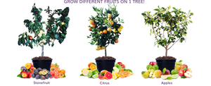 Grow different fruit on the same tree. Oranges, mandarins, lemons, lime, pomelo, grapefruit, tangelo on one tree! Multi apple trees for all climates and stone fruit trees for all climates with nectarine, peach, plum, apricot and peachcot on the same tree
