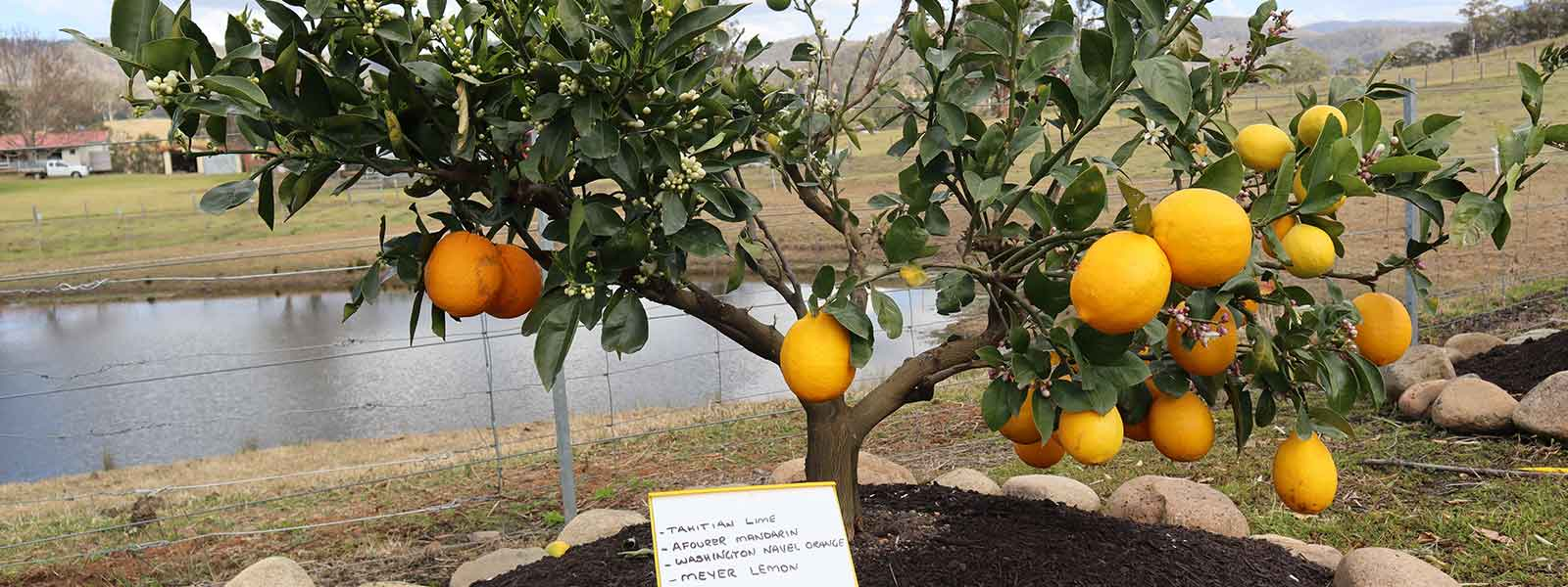 Lime mandarin orange lemon fruit salad tree in ground four years old