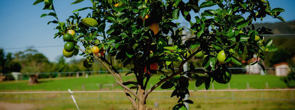 Fruit Salad Trees   Different fruit on the same tree