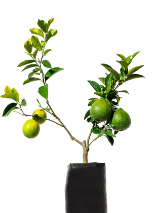 2 Fruit Citrus Tree
