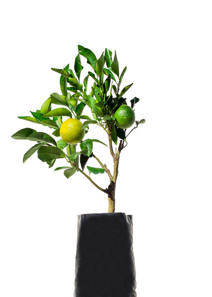 Assorted 4 Fruit Citrus Tree