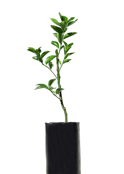 Grapefruit + Lemon + Tangelo + Lemonade