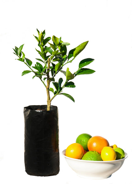 Assorted 5 Fruit Citrus Tree