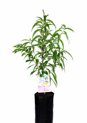 *Limited Edition* 7 fruit Stonefruit Tree growing Apricot + Peach + Peach + Nectarine + Nectarine + Plum + Peachcot