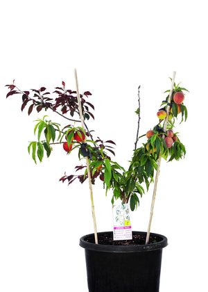 Assorted 5 Fruit Stonefruit Tree