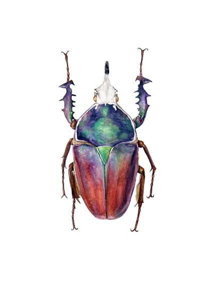 African Flower Beetle