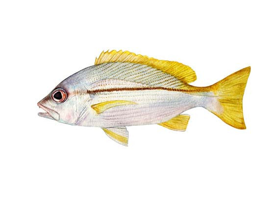 Brownstripe Red Snapper