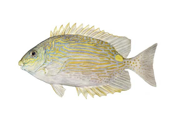 Golden Lined Spinefoot