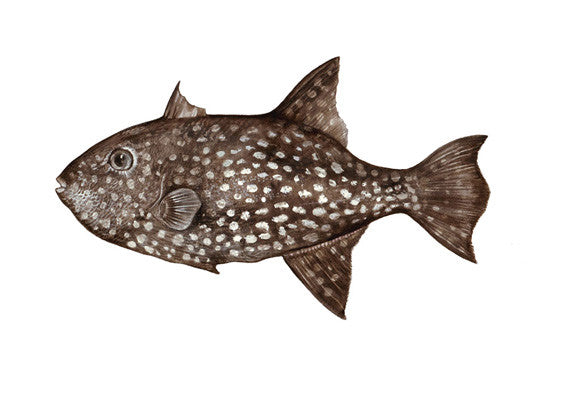 Rough Triggerfish