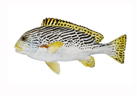 Yellow-banded Sweetlips