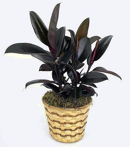 "Burgundy India Rubber Tree Plant - Ficus - An Old Favorite - 4"" Pot"