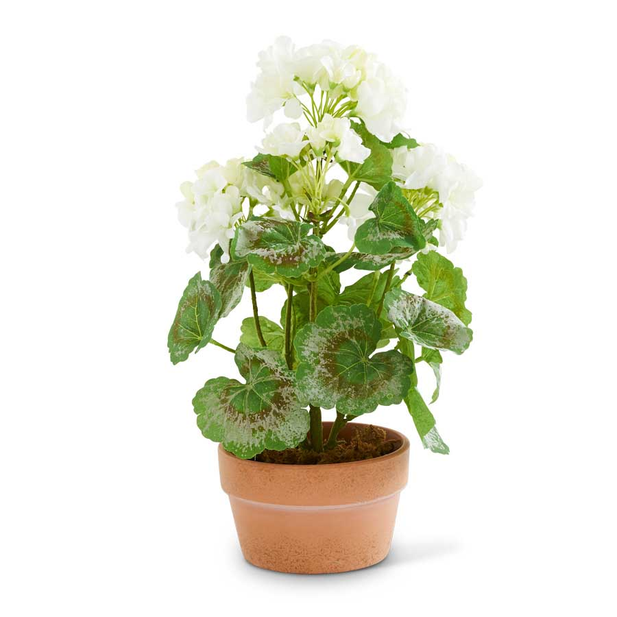 White Geranium in Terra Cotta Pot