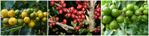 coffee berries ripening