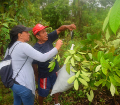 Weighing rosewood leaves from trees planted in Brillo Nuevo. Photo by Campbell Plowden/Amazon Ecology