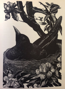 Blackbird on Nest by Clare Leighton
