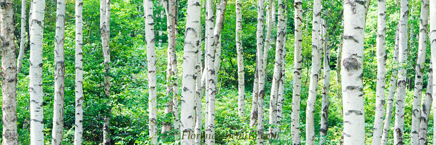 Birch - skincare ingredients