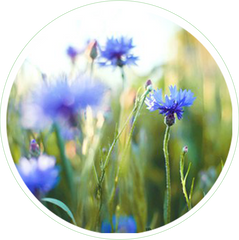 Cornflower Flower Extract in Skin Care