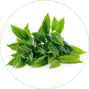 Green Tea Leaf Extract and its benefits