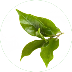 Japanese Green Tea (Camellia Oleifera) Extract  in Skin Care