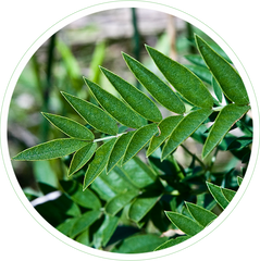 Glycyrrhiza Glabra (Licorice) Leaf Extract