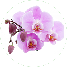 Orchid Flower Extract