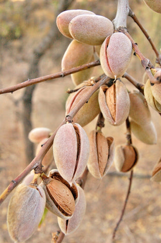 almonds hanging from tree