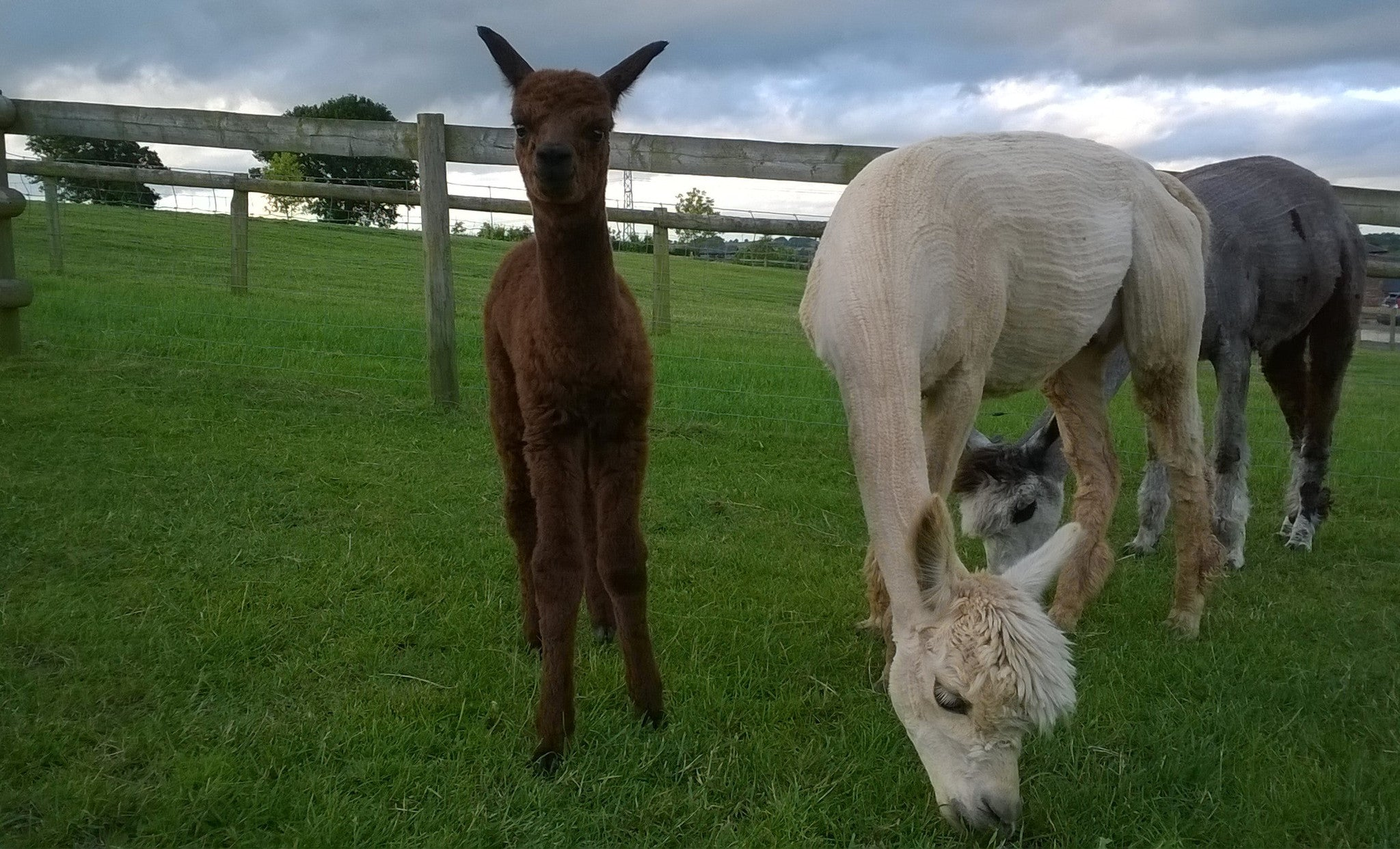 Our First Cria of 2016 has Arrived