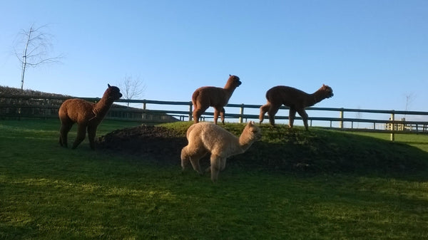 Last Years Cria are now Weaned