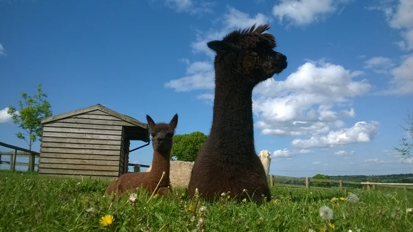 First Cria of the Year