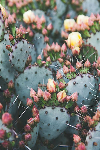Prickly Pear Seed Oil Cactus