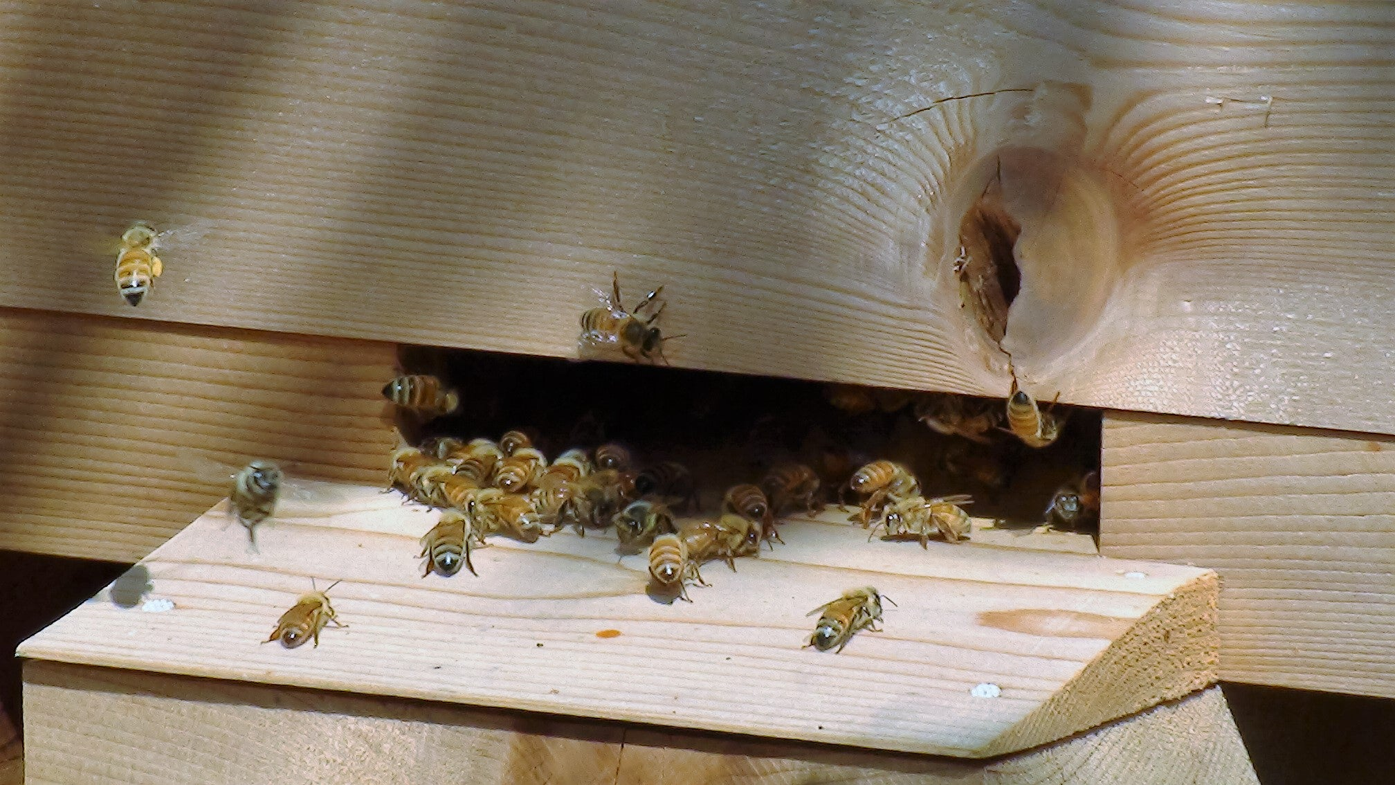 Pollen Coming in at the Warré Hive Entrance - Copyrights RebelBees 2016