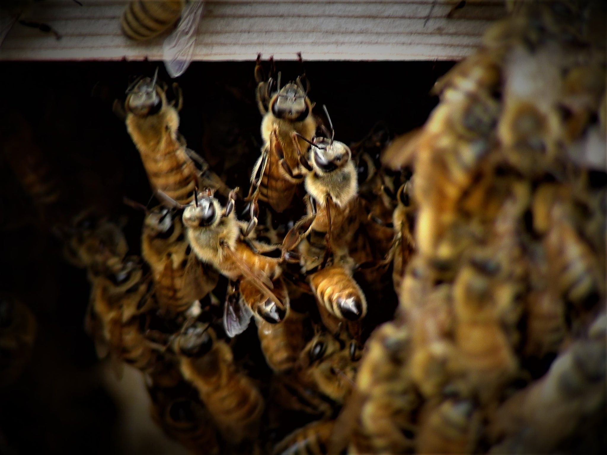 Bees Under the Warré Hive Floor - Copyrights RebelBees 2019
