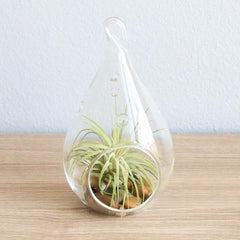 Air plant in hanging medium teardrop