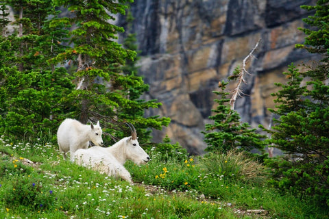 Mountain goats resting in a wildflower meadow in Glacier National Park Montana