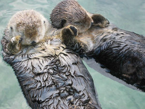 Sea otters sleep while floating on their backs and often hold hands or wrap themselves in kelp to keep from drifting.