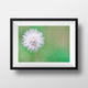 Dandelion, Florida Wildflower Photography - Catch A Star Fine Art