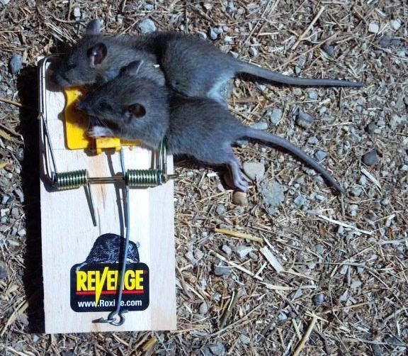 Two rats in one trap