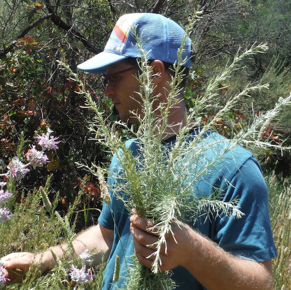 Wild harvesting California sagebrush herb for use in pain relief Joint Balm
