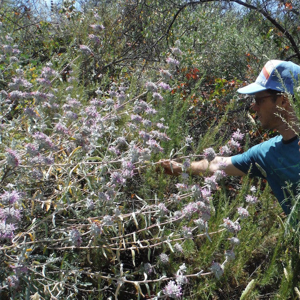 Wild harvesting black sage for its pain relieving properties