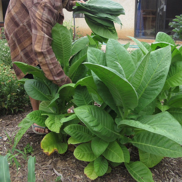 Homegrown organic tobacco, harvested fresh, to be cured and infused in oil for relieving muscle soreness.