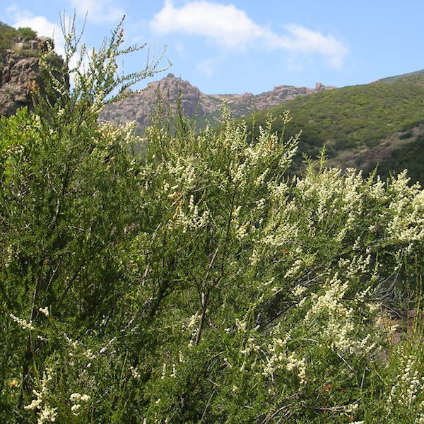Chamise is a Southern California native plant and traditional medicinal for healing and nourishing the skin