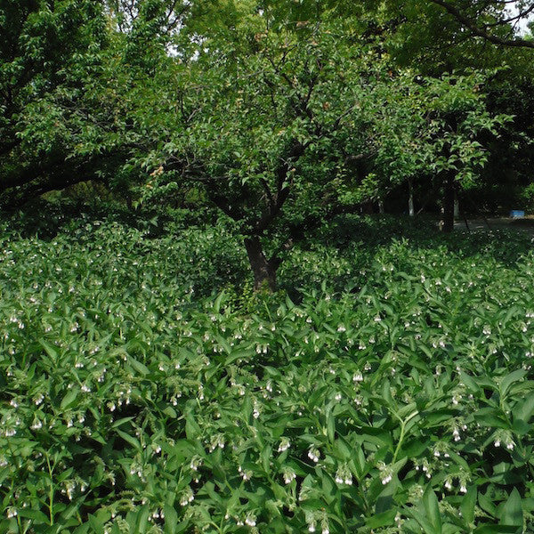 Comfrey yields the anti-inflammatory compound allantoin, and grows as a great companion in the organic orchard