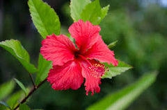 Hibiscus Flower. Iced tea recipes. Hibiscus recipes. How to use use dried hibiscus flowers