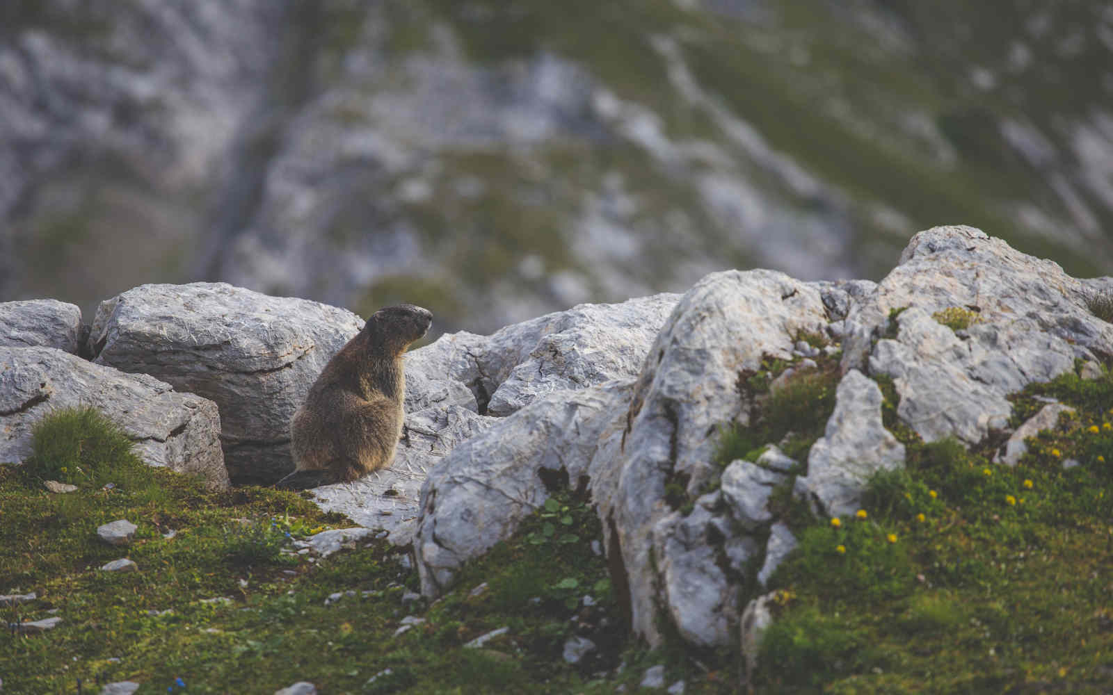 Marmottes in the French Alps when mountain biking
