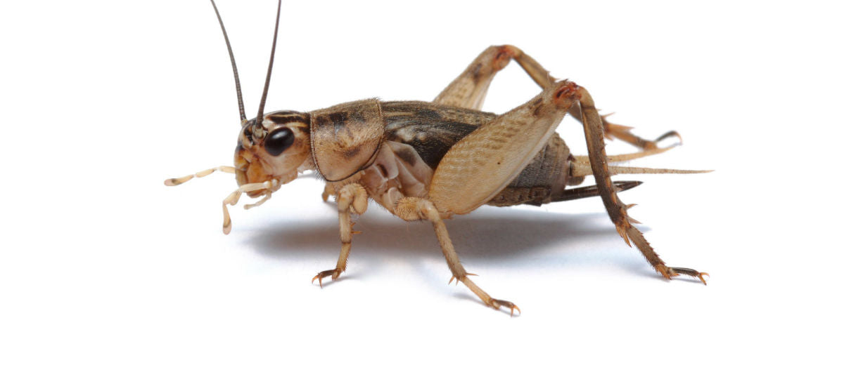 eco cricket