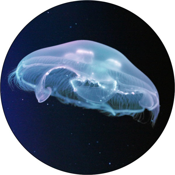 Extra Large Moon Jellyfish