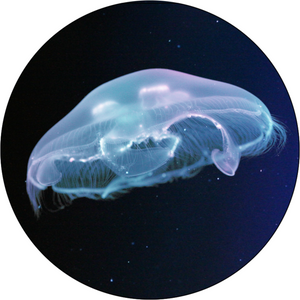 Large Moon Jellyfish
