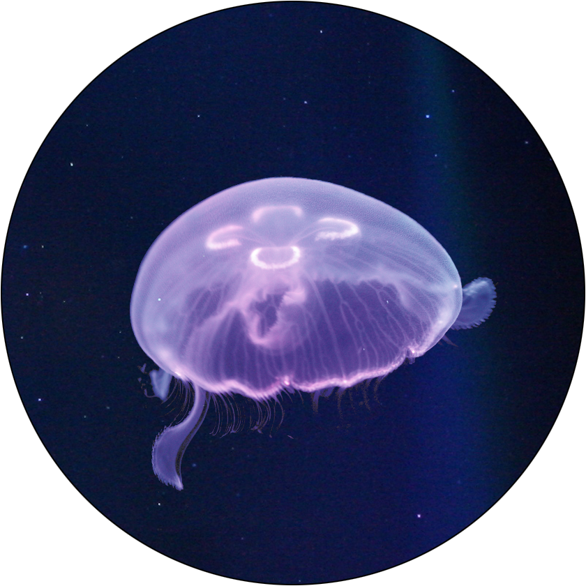 moon jelly fish Jellyfish facts for kids – interesting facts about jellyfish  moon jellyfish facts for kids interesting facts about jellyfish for  fun moon jelly fish facts.